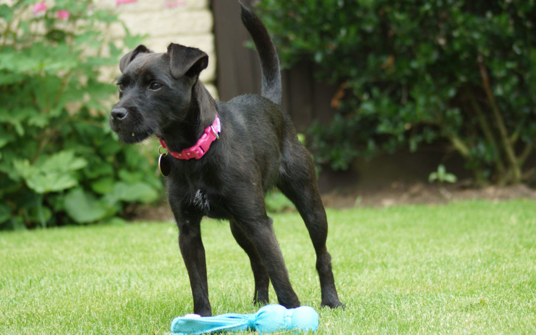 Patterdale Terrier Rescue