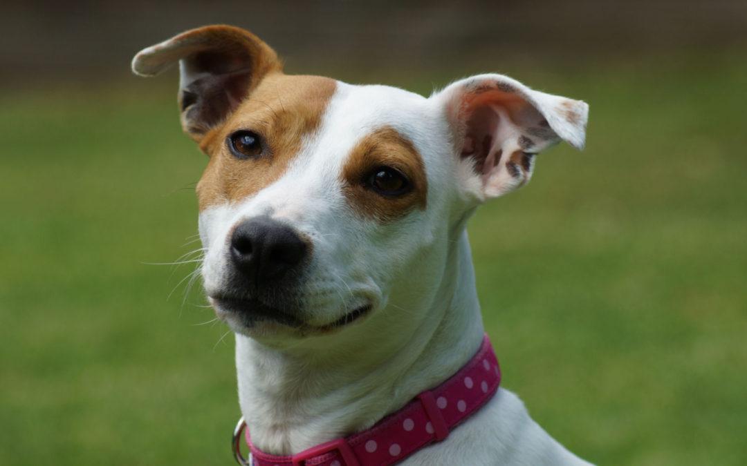 Terrier Rescue