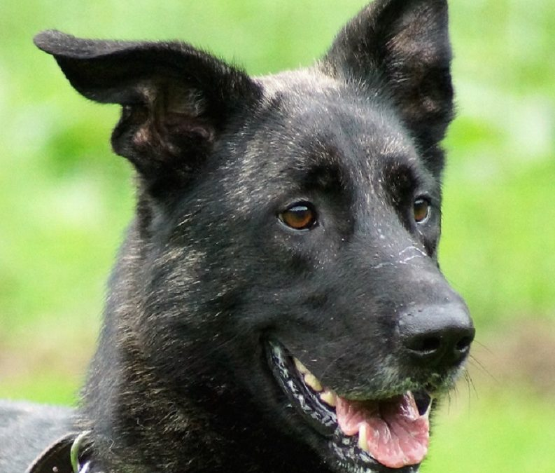 Shadow Dutch Shepherd